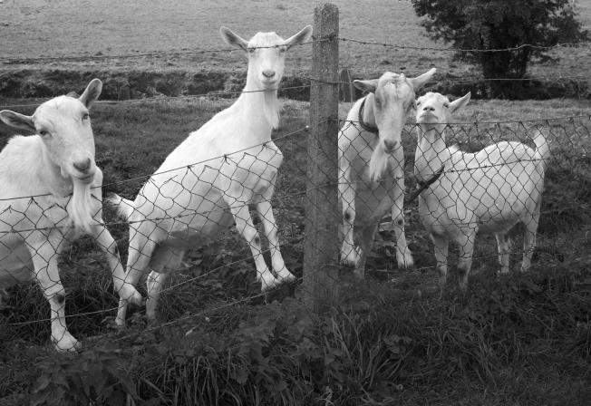 mrs-stradlings-goats-337